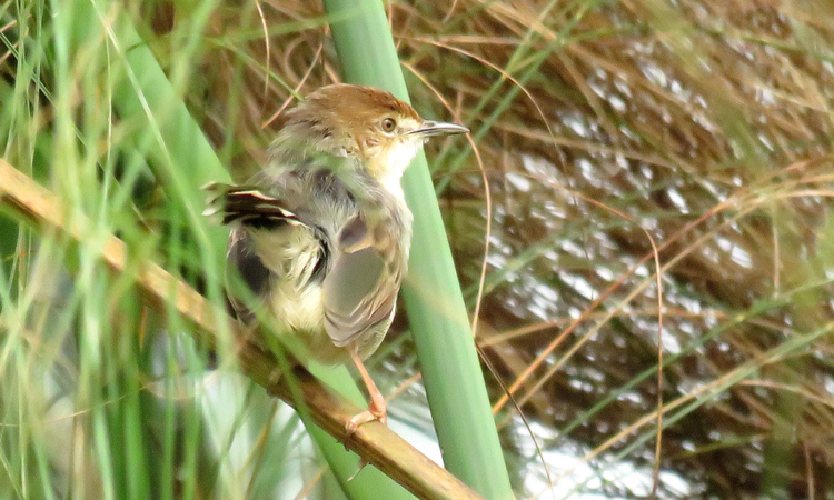 Carruther's Cisticola